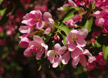 Flowering apple-tree closeup Royalty Free Stock Images