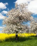 Flowering apple tree Royalty Free Stock Photos
