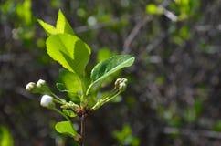 Flowering apple tree. Flowering apple tree in the garden Stock Photo