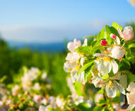 Flowering apple tree in mountains. Flowering apple tree in the mountains royalty free stock photo