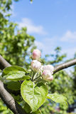 Flowering apple tree Royalty Free Stock Photography