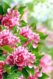 Flowering apple tree. Photography with scene of the flowering red apple tree stock photo
