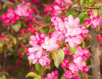 Flowering apple tree with pink blossoms royalty free stock photography