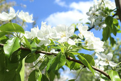 Flowering apple tree, sky. Branch of a blossoming apple tree on a sky background Royalty Free Stock Photo