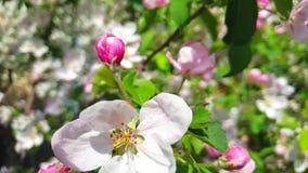 Flowering apple tree, slow motion stock video footage