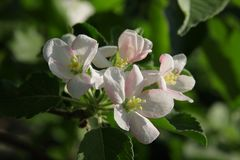 Flowering apple-tree in spring Stock Photography