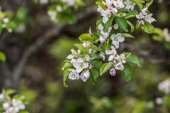 Flowering apple tree Stock Photography