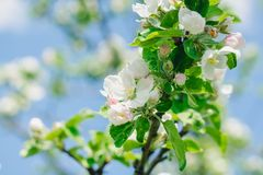 Flowering of an apple tree in a spring garden. The awakening of nature royalty free stock photo