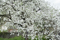 Flowering apple tree in spring garden covering with snowy white flowers at old wood farm log house background. Flowering apple tree in spring garden is covering Stock Photos