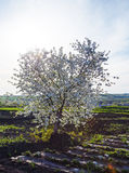 Flowering apple tree in spring in a plowed field with a bright sun and sky Royalty Free Stock Image