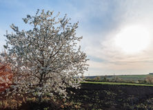 Flowering apple tree in spring in a plowed field with a bright sun and sky Stock Image