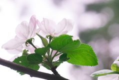 Flowering apple tree in spring in a sunny day stock photos