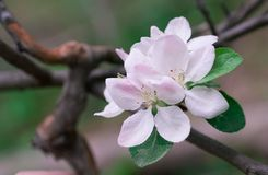 Flowering apple tree in spring in a sunny day stock images