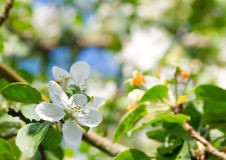 Flowering apple tree Stock Images