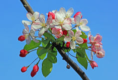 Flowering apple tree at springtime Royalty Free Stock Image