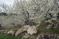 Flowering apple tree and stones Stock Photography