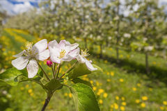 Flowering apple tree Stock Image
