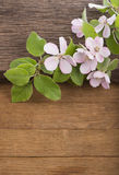 Flowering of apple tree on  wooden background. Stock Images