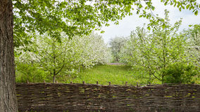 Flowering Apple trees Royalty Free Stock Images