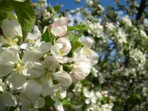 Flowering of apple trees. Royalty Free Stock Photos