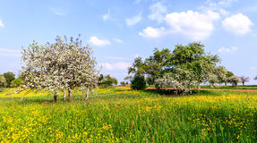 Flowering apple trees on dandelion meadow Royalty Free Stock Photo
