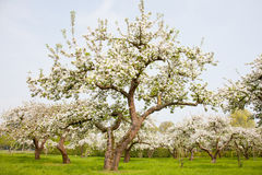Flowering apple trees in holland Royalty Free Stock Photos