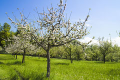 Flowering apple trees Stock Photography