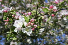 Flowering Apple trees in spring Stock Images