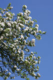 Flowering Apple trees in spring Stock Photography