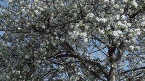 Flowering of apple trees stock video footage