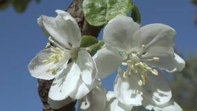 Flowering of apple trees stock footage