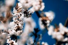 Flowering appletree. Spring, Czech Republic Royalty Free Stock Photos