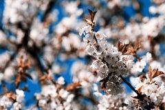 Flowering appletree. Spring, Czech Republic Stock Image