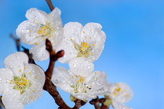 Flowering of an apricot Royalty Free Stock Photography