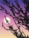 Flowering apricot. Vector drawing. Open flowers emit a wonderful aroma of apricot at sunset Royalty Free Stock Photo