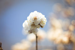 Flowering apricot. Armenia symbol of flowering apricot Royalty Free Stock Photo