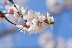 Flowering apricot Stock Images