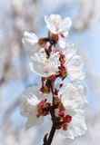 Flowering apricot on background sky. Spring in the garden. Stock Image