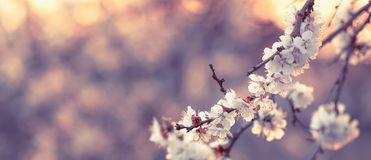 Flowering apricot, beatiful spring, flowers natural colorful background, blurred image, space for text, selective focus stock photography