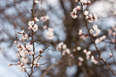 Flowering apricot Stock Photography