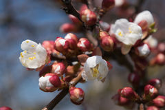 Flowering of apricot Royalty Free Stock Images