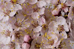 Flowering apricot branch. Close up of the flowering apricot branch Royalty Free Stock Photo