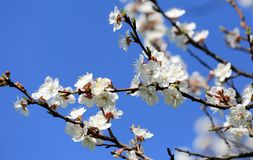 Flowering apricot branch Royalty Free Stock Image