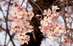 Flowers of apricot. Flowering apricot. branch with beautiful flowers of apricot Stock Image