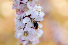 Flowering apricot branch with beautiful white flowers close up in sunshine spring