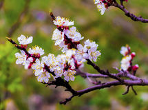 Flowering apricot branch. Blooming apricot. Spring. The young bu Royalty Free Stock Image