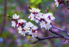 Flowering apricot branch. Blooming apricot. Spring. The young bu Stock Photos