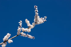 Flowering apricot branch. Flowering apricot on blue sky background Stock Image