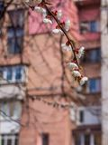 Flowering apricots in the city. Flowering apricot branch on the blurred background facade house - Kyiv, Ukraine, Europe royalty free stock image