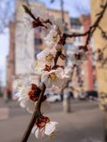 Flowering apricots in the city. Flowering apricot branch on the blurred background facade house - Kyiv, Ukraine, Europe royalty free stock photography